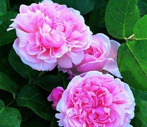 Anglická pnoucí růže Davida Austina 'St. Swithun' - Rosa PN 'St. Swithun'