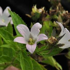 Zvonek bělokvětý 'Loddon Anna' - Campanula lactiflora 'Loddon Anna'