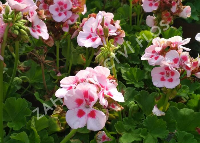Muškát, pelargonie páskatá klasická 'Pink Rose' - Pelargonium zonale 'Pink Rose'