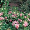 Růže svraskalá 'Dagmar Hastrup' - Rosa rugosa 'Dagmar Hastrup'