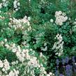 Růže půdopokryvná Meilland 'Alba Meidiland' - Rosa PK 'Alba Meidiland'