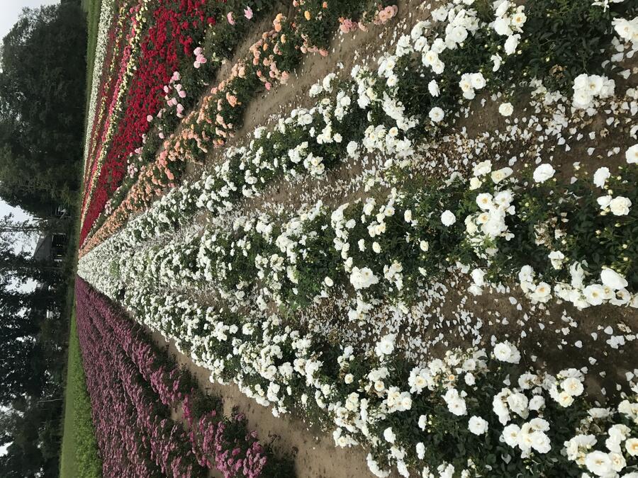 Růže půdopokryvná Kordes 'Innocencia' - Rosa PK 'Innocencia'