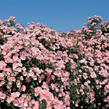 Růže mnohokvětá Meilland 'Bingo Meidiland' - Rosa MK 'Bingo Meidiland'