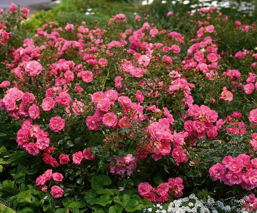 Růže mnohokvětá 'Mirato' - Rosa MK 'Mirato'