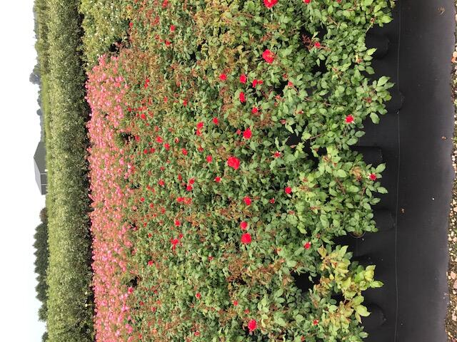 Růže mnohokvětá 'La Sevillana' - Rosa MK 'La Sevillana'