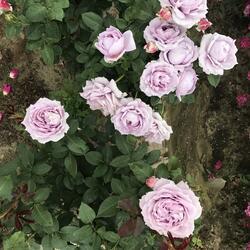 Růže mnohokvětá 'Novalis' - Rosa MK 'Novalis'