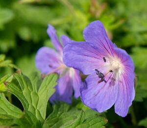 Kakost himalájský 'Baby Blue' - Geranium himalayense 'Baby Blue'