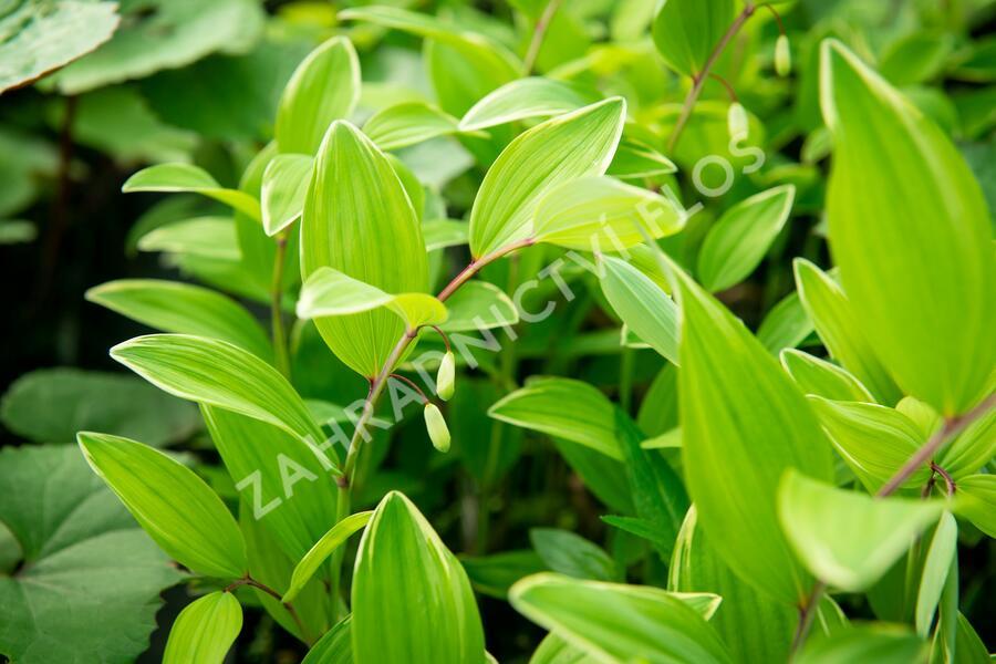 Kokořík panašovaný 'Variegatum' - Polygonatum falcatum 'Variegatum'