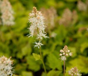 Mitrovnička 'Moorgruen' - Tiarella cordifolia 'Moorgruen'