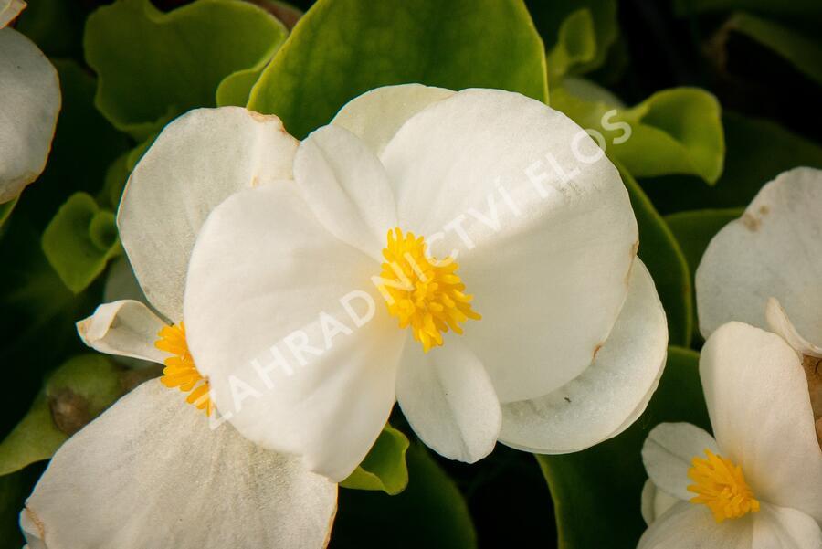Begónie stálokvětá, ledovka, voskovka 'White' - Begonia semperflorens 'White'