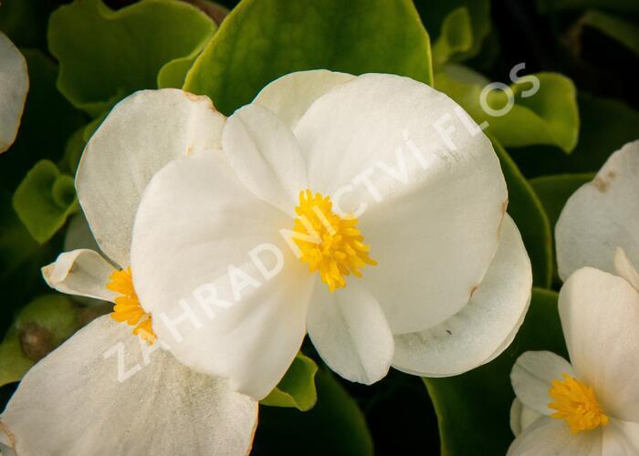 Begónie stálokvětá, ledovka, voskovka 'Brazil White' - Begonia semperflorens 'Brazil White'