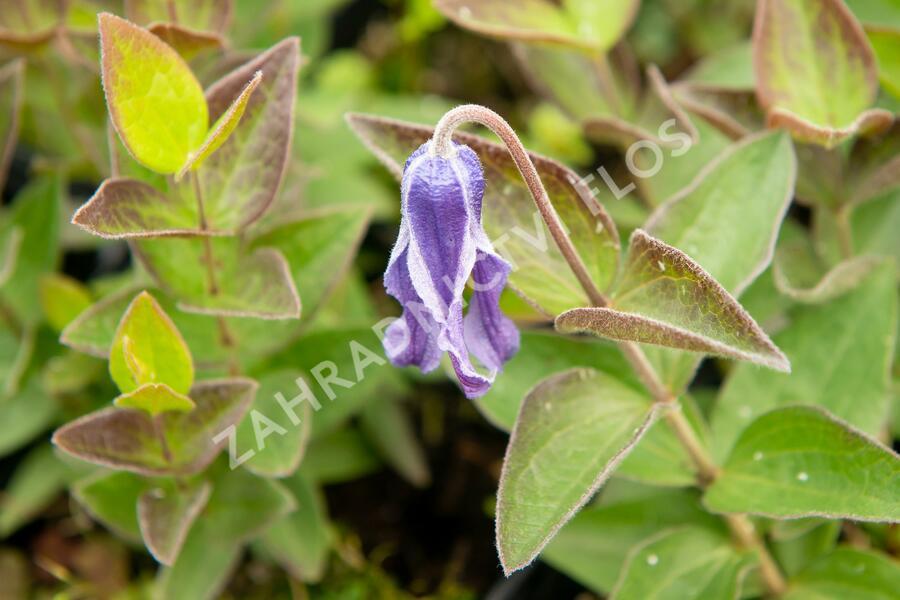 Plamének celolistý - Clematis integrifolia