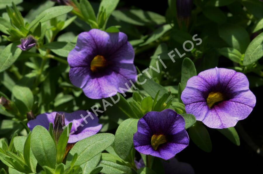 Minipetunie, Million Bells 'Sweetbells Blue Eye' - Calibrachoa hybrida 'Sweetbells Blue Eye'
