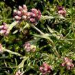 Kociánek dvoudomý 'Rubra' - Antennaria dioica 'Rubra'