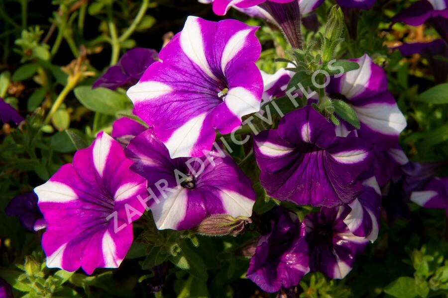 Petúnie 'Peppy Blue' - Petunia hybrida 'Peppy Blue'
