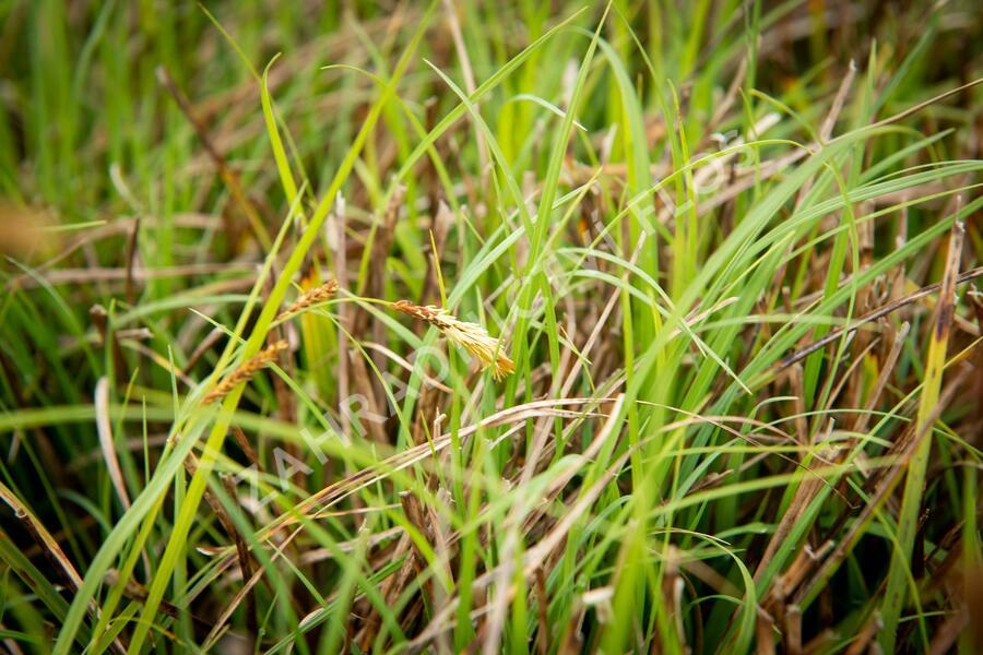 Ostřice chabá - Carex flacca