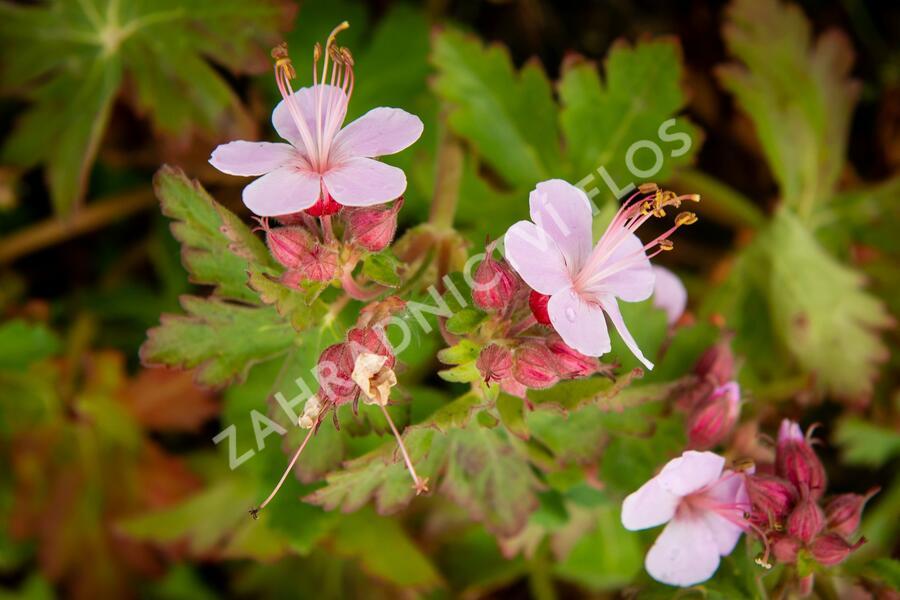 Kakost oddenkatý 'Olympos' - Geranium macrorrhizum 'Olympos'