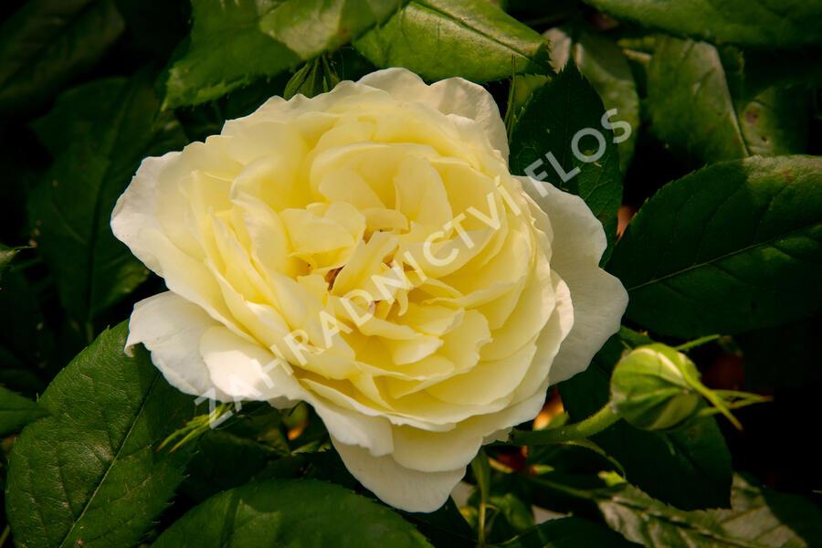 Anglická růže Davida Austina 'Vanessa Bell' - Rosa S 'Vanessa Bell'
