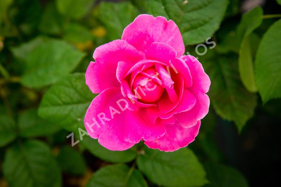 Anglická růže Davida Austina 'James L. Austin' - Rosa S 'James L. Austin'