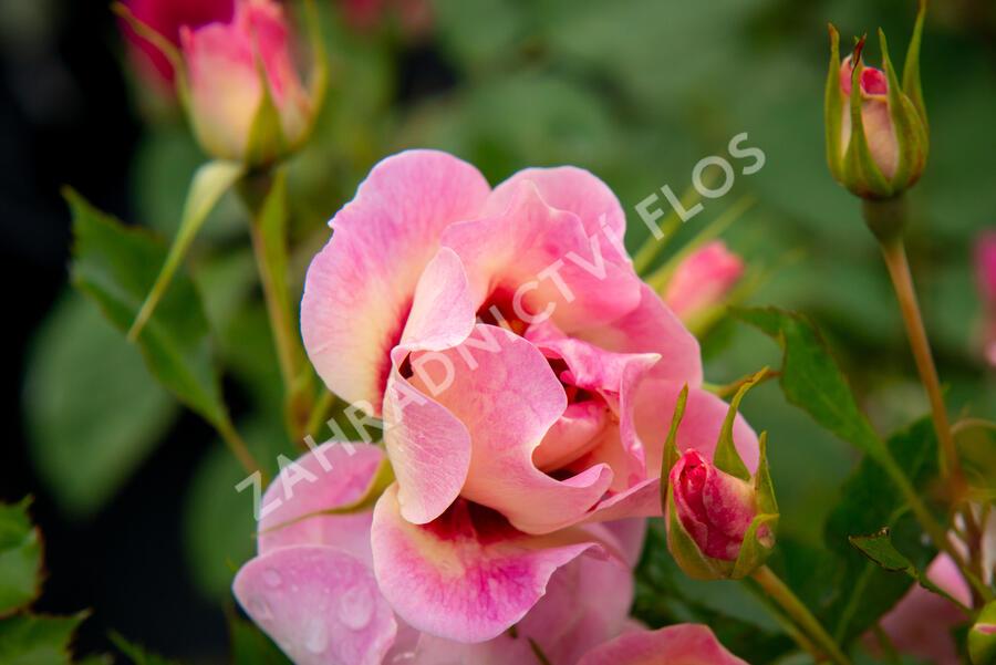 Růže mnohokvětá 'Trendy Babylon Eyes'® - Rosa MK 'Trendy Babylon Eyes'®
