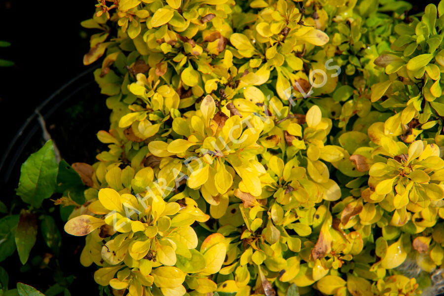 Dřišťál Thunbergův 'Golden Nugget' - Berberis thunbergii 'Golden Nugget'