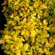 Dřišťál Thunbergův 'Golden Nugget' - Berberis thunbergii 'Golden Nugget'