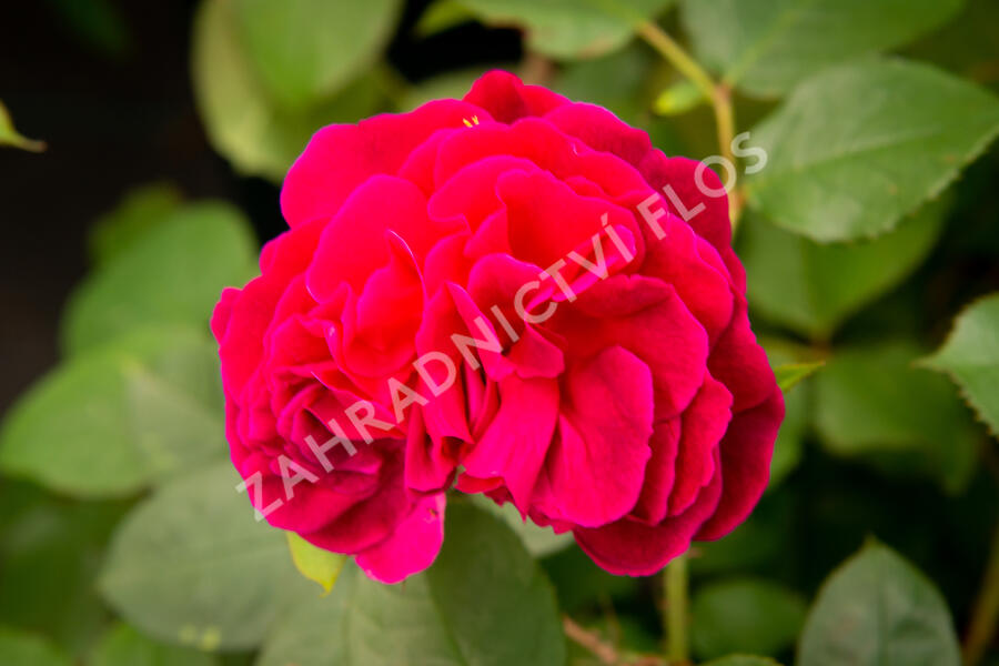 Anglická růže Davida Austina 'Munstead Wood' - Rosa S 'Munstead Wood'