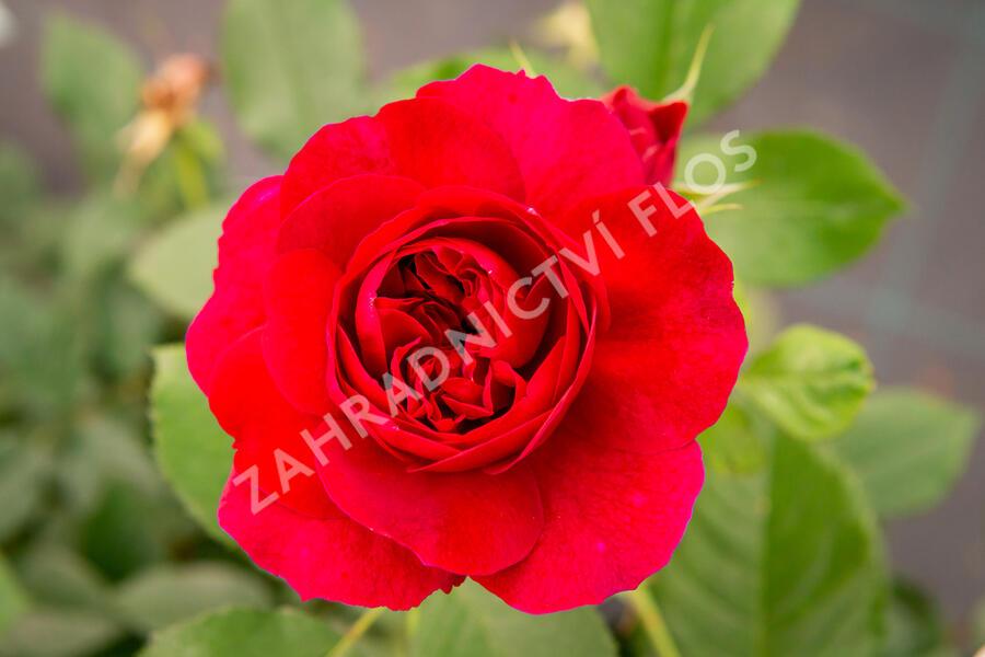 Anglická růže Davida Austina 'Darcey Bussel' - Rosa S 'Darcey Bussel'