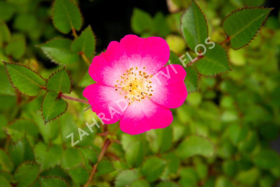 Růže mnohokvětá Kordes 'Lupo' - Rosa MK 'Lupo'