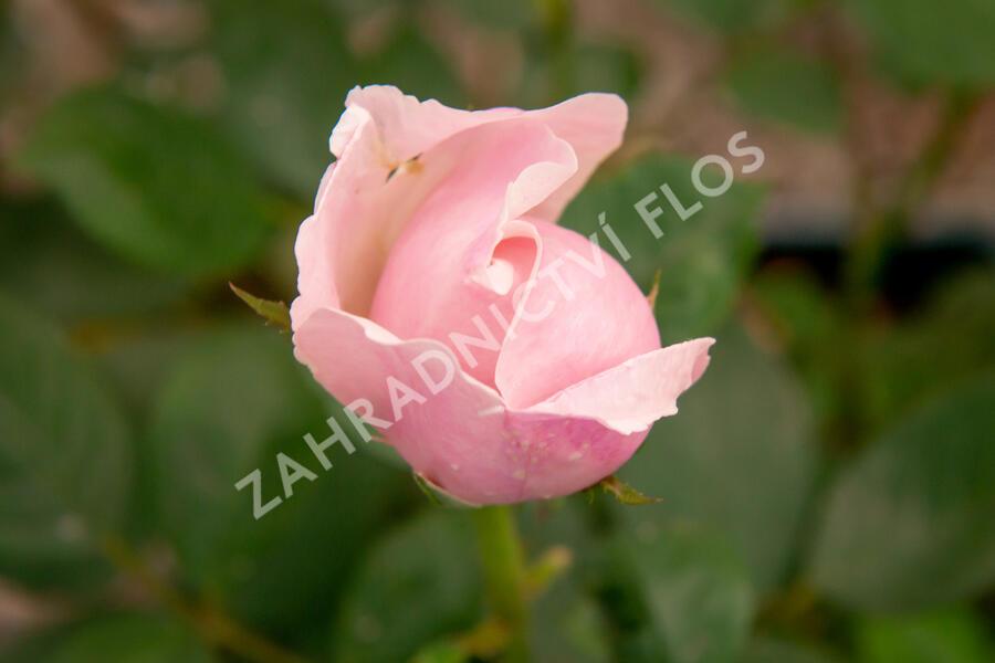 Anglická růže Davida Austina 'The Alnwick Rose' - Rosa S 'The Alnwick Rose'