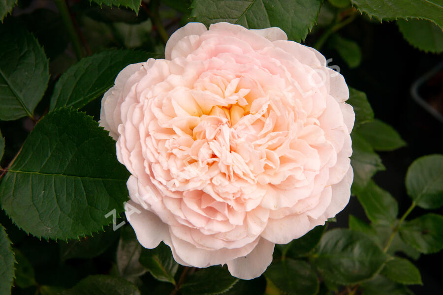 Anglická růže Davida Austina 'Emily Bronte' - Rosa S 'Emily Bronte'