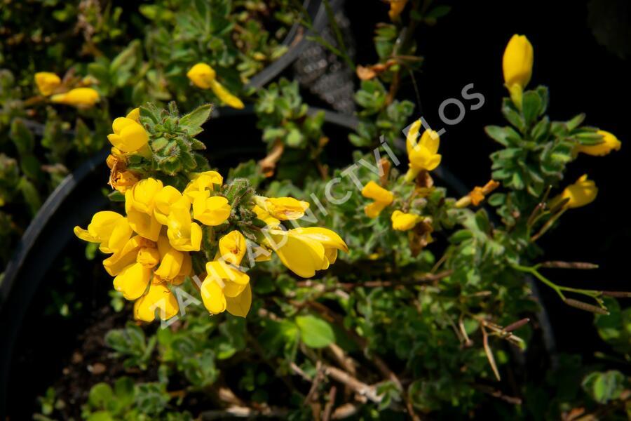Čilimník rozložený - Cytisus decumbens