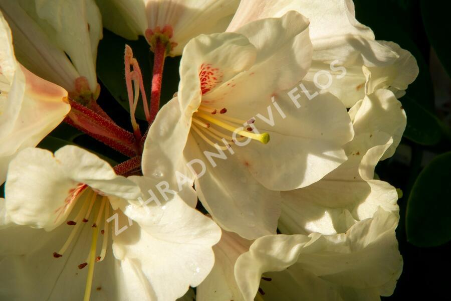 Pěnišník 'Goldbukett' - Rhododendron (T) 'Goldbukett'