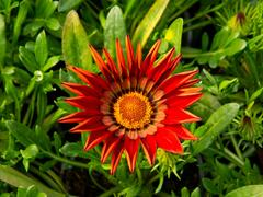 Gazánie zářivá 'Impressa Red with Ring' - Gazania rigens 'Impressa Red with Ring'