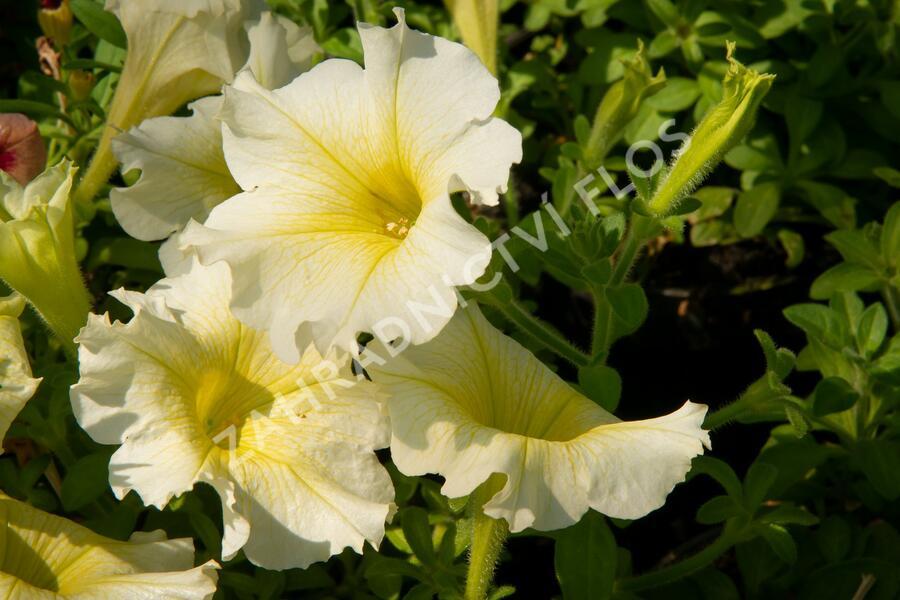 Petúnie 'Sweet Pleasure Yellow' - Petunia hybrida 'Sweet Pleasure Yellow'
