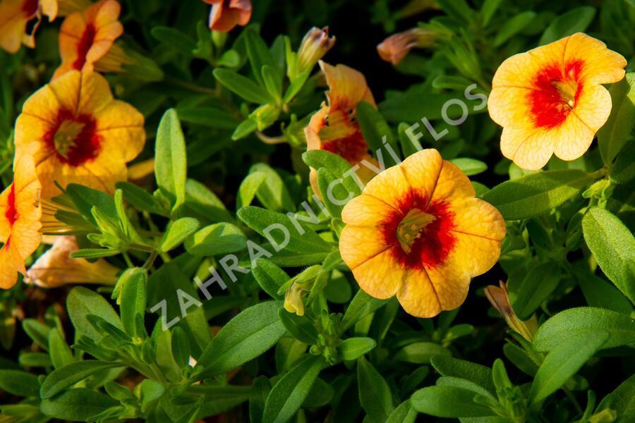 Minipetunie, Million Bells 'Hula Gold' - Calibrachoa hybrida 'Hula Gold'