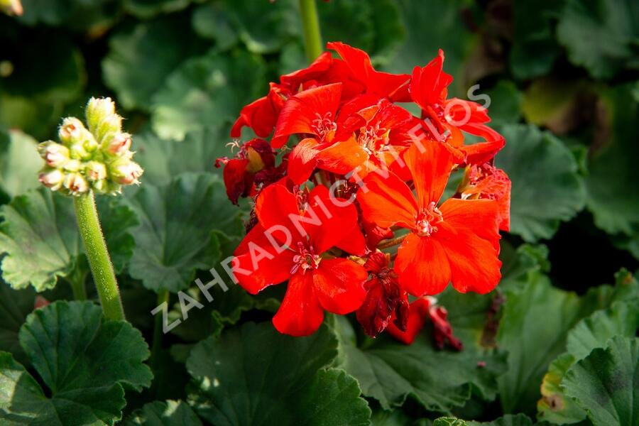 Muškát, pelargonie páskatá klasická 'Orange' - Pelargonium zonale 'Orange'