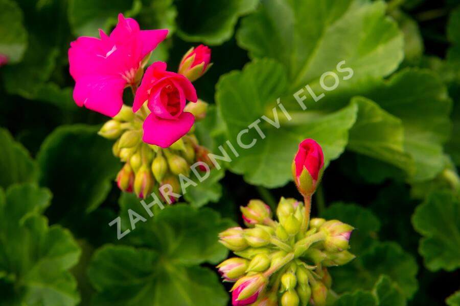 Muškát, pelargonie páskatá klasická 'Soft Pink' - Pelargonium zonale 'Soft Pink'