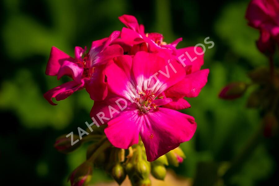 Muškát, pelargonie páskatá klasická 'Violet' - Pelargonium zonale 'Violet'