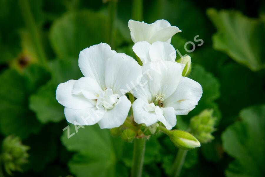 Muškát, pelargonie páskatá klasická 'White' - Pelargonium zonale 'White'