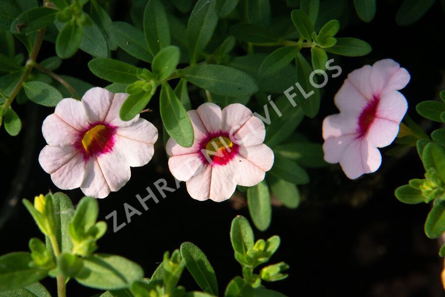 Minipetunie, Million Bells 'Sweetbells Pink Morn' - Calibrachoa hybrida 'Sweetbells Pink Morn'