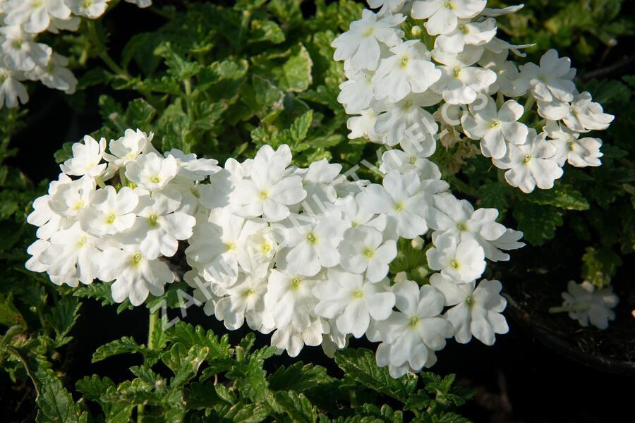 Verbena, sporýš 'Vanessa White' - Verbena hybrida 'Vanessa White'