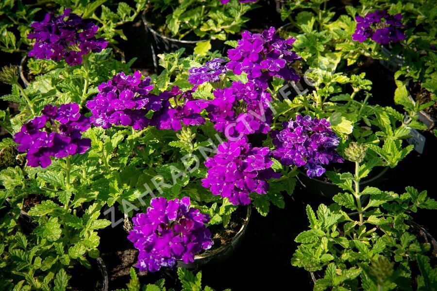 Verbena, sporýš 'Empress Sun Violet' - Verbena hybrida 'Empress Sun Violet'