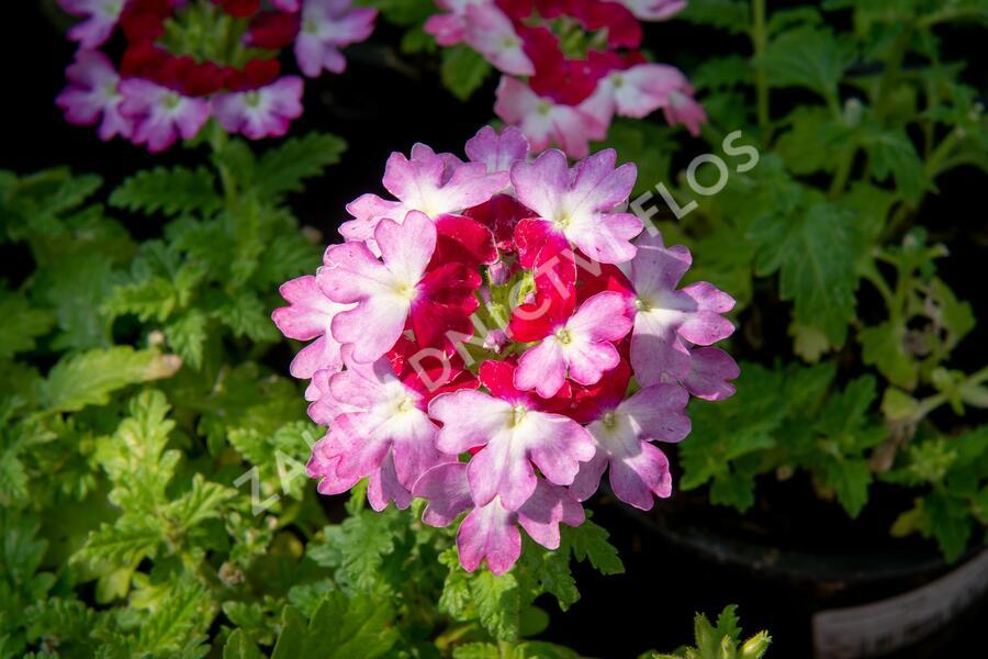 Verbena, sporýš 'Vanessa Bicolor Pink' - Verbena hybrida 'Vanessa Bicolor Pink'