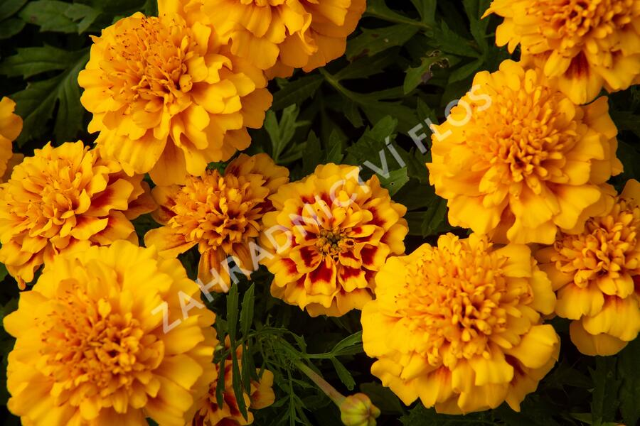 Aksamitník rozkladitý, afrikán 'Texana Yellow Fire' - Tagetes patula 'Texana Yellow Fire'
