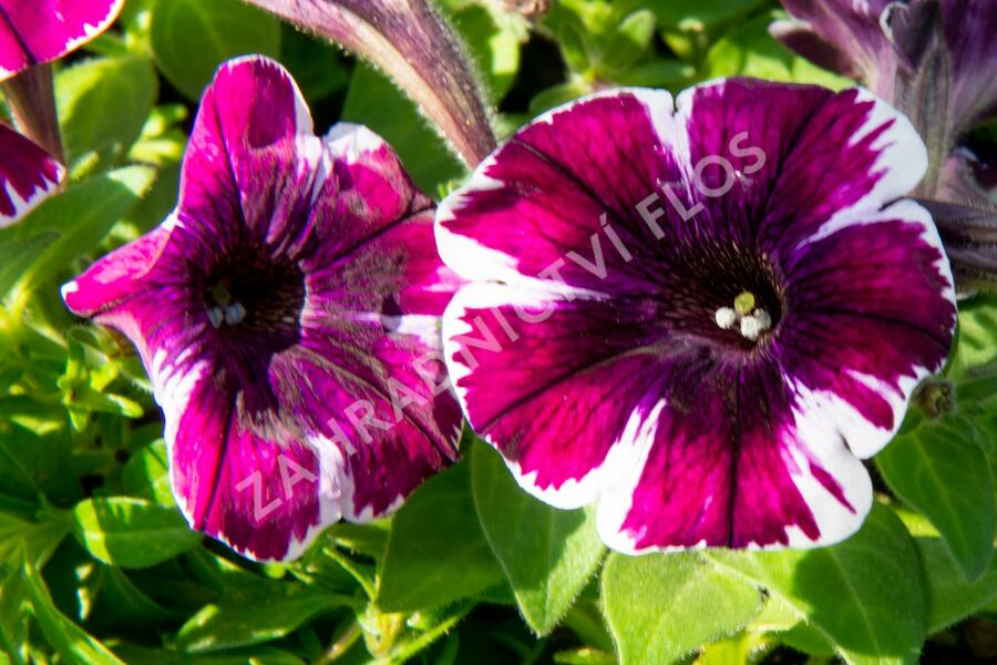 Petúnie 'Sweetunia Miss Marvelous' - Petunia hybrida 'Sweetunia Miss Marvelous'