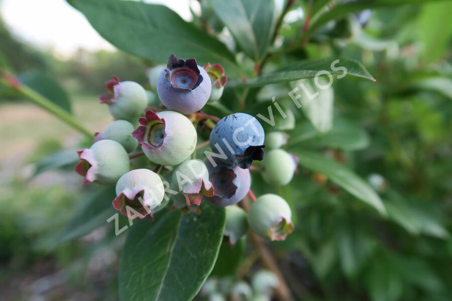 Borůvka chocholičnatá, kanadská borůvka 'Elliot' - Vaccinium corymbosum 'Elliot'