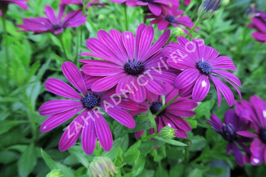 Dvoutvárka 'Erato Basket Purple' - Osteospermum ecklonis 'Erato Basket Purple'