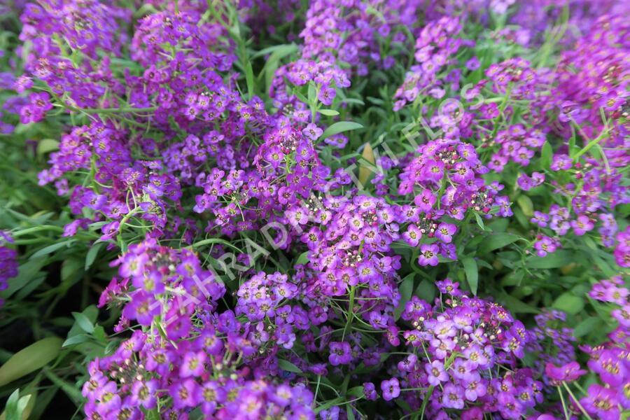 Tařicovka přímořská 'Lucia Purple' - Lobularia maritima 'Lucia Purple'
