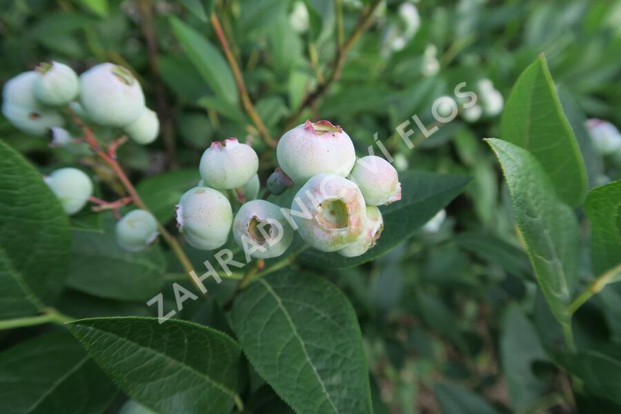 Borůvka chocholičnatá, kanadská borůvka 'Brigitta Blue' - Vaccinium corymbosum 'Brigitta Blue'